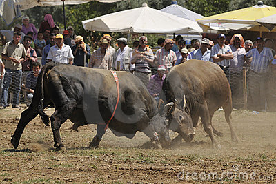 Bull fight Editorial Stock Image
