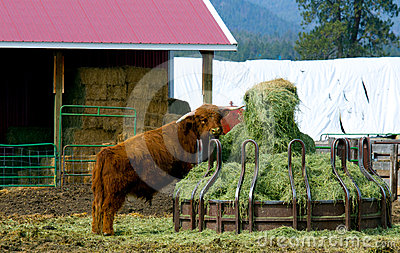 Bull Getting Into The Hay