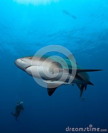 Bull-Haifisch in Mosambik