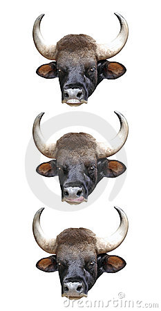 Bull Head. Stock Photo