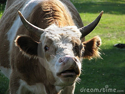 Bull with large protruding eyes