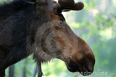 Bull Moose Closeup