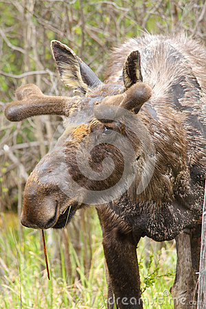 Moose with Velvet Antlers