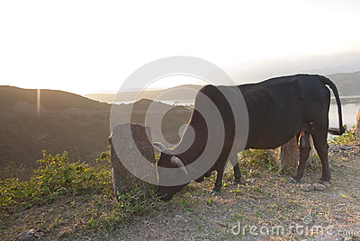 Bull in mountain