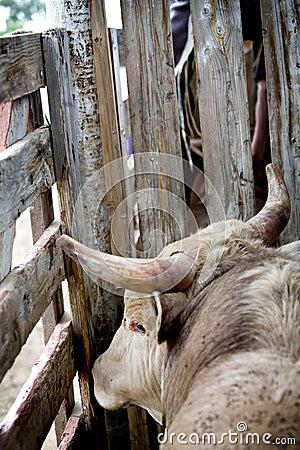 Bull in pen