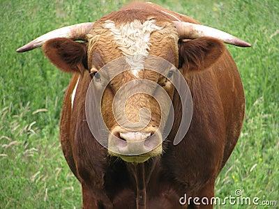 Bull que mira fijamente