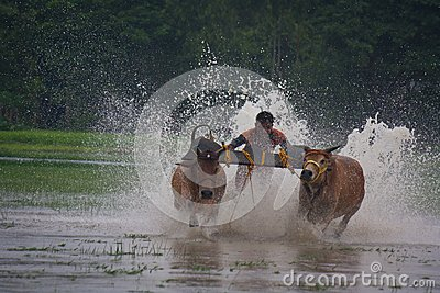 Bull Race at Canning,India Editorial Image