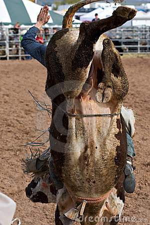 Bull Riding Editorial Stock Photo Image 13267893