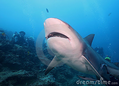 Bull Shark (Zambezi Shark)