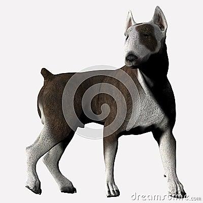 Bull Terrier - 04