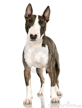 Free Bull Terrier (2 Years) Stock Photos - 2771793