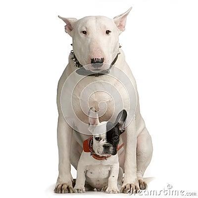 Free Bull Terrier Royalty Free Stock Image - 2314216