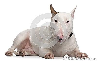 Bull Terrier, 9 months old, lying