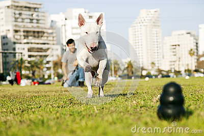 Bull Terrier Running for Chew Toy in Park