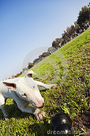 Bull Terrier with Chew Toy in Park