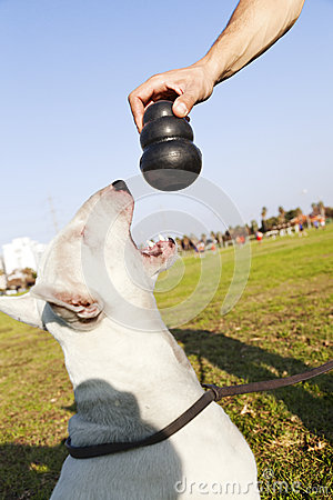 Bull Terrier About to Chew on Toy