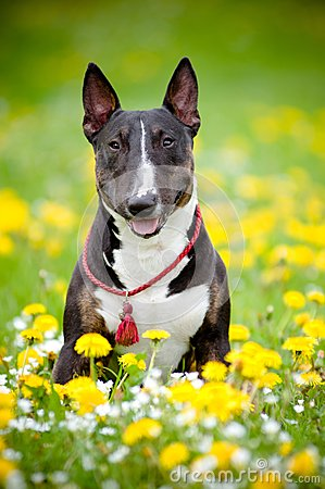 Bull terrier dog posing in a flower field