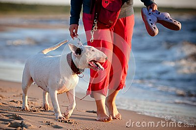 Bull terrier following owner