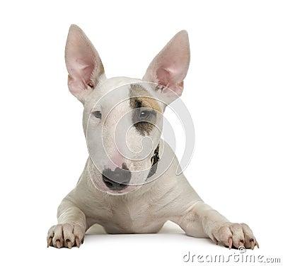 Bull Terrier puppy against white background