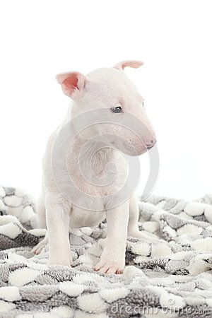 Bull terrier puppy on a blanket