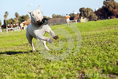 Bull Terrier Running in the Park with Toy