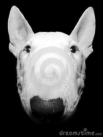 Bull Terrier up close