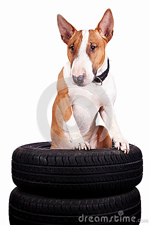 Bull terrier and wheels