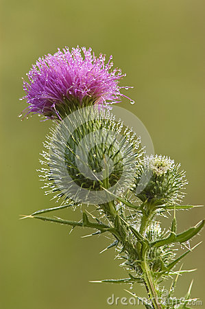 Free Bull Thistle Blossom Royalty Free Stock Image - 28325966