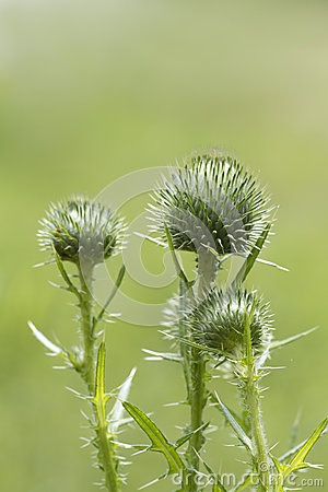 Bull Thistle Buds- Cirsium vulgare (Spear Thistle)