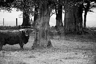 Bull and tree