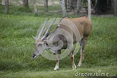 Bull wild life
