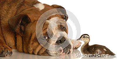 Bulldog with baby duck