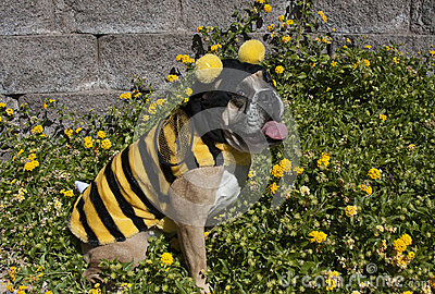 Bulldog Bumble Bee