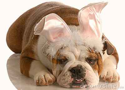 Bulldog dressed up as bunny