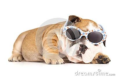 Bulldog in glasses