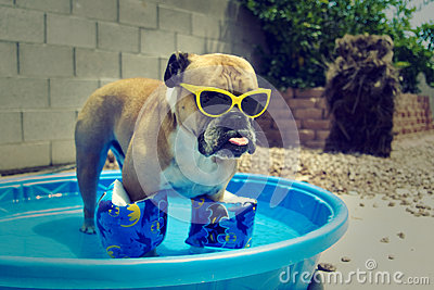 Bulldog in his pool with floaties on