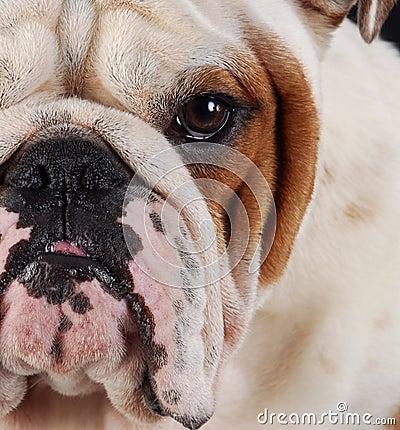 Bulldog macro