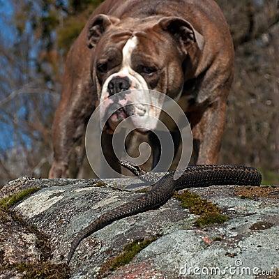 Free Bulldog Meets A Vipera Berus Royalty Free Stock Image - 77925876