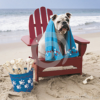 Free Bulldog On Red Adirondack Chair On Beach Royalty Free Stock Image - 49266516