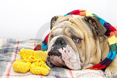 Bulldog on a plaid