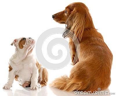 Bulldog puppy and dachshund