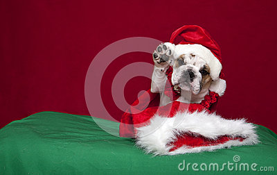 Bulldog puppy Holiday waiving portrait