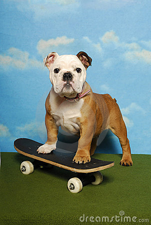 Bulldog Puppy on a Skate Board