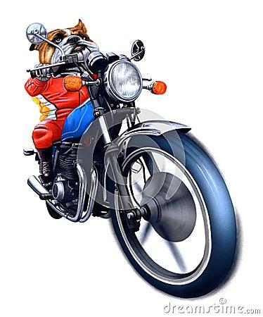 A bulldog riding bike