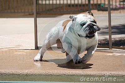 Bulldog running around the pool