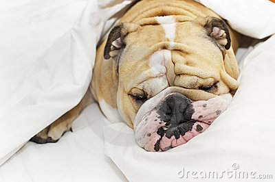 Bulldog sleeping on a bed