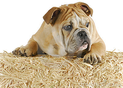 Bulldog on straw