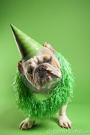 Bulldog wearing party hat.