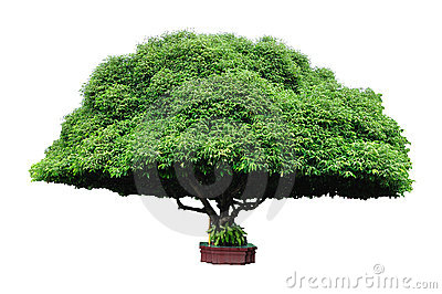 Bullet wood tree