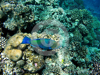 Bullethead parrotfish on a coral reef. Scarus